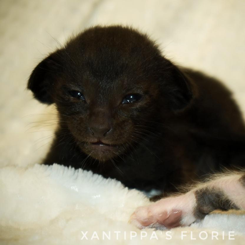 svart oriental kattunge till salu